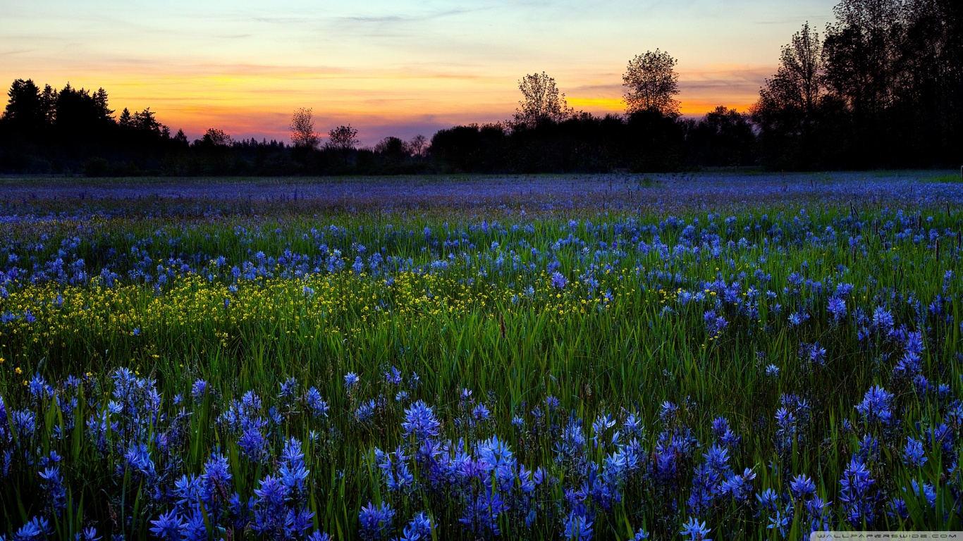 colored_flower_field-wallpaper-1366x768
