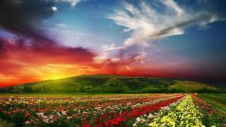 rose_flower_field_background_hd-wallpaper-1366x768